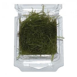 Taxiphyllum barbieri - Java moss PORSİYON