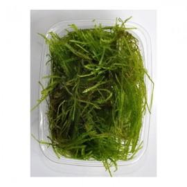 Taxiphyllum spiky moss PORSİYON