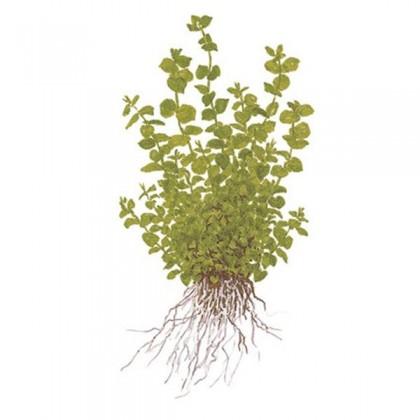 Micranthemum umbrosum TEK DAL