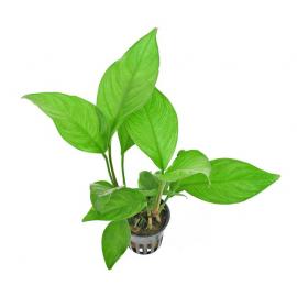 Anubias heterophylla (anubias undulata) TEK RİZOM