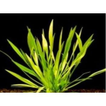 Echinodorus angustifolia SAKSI