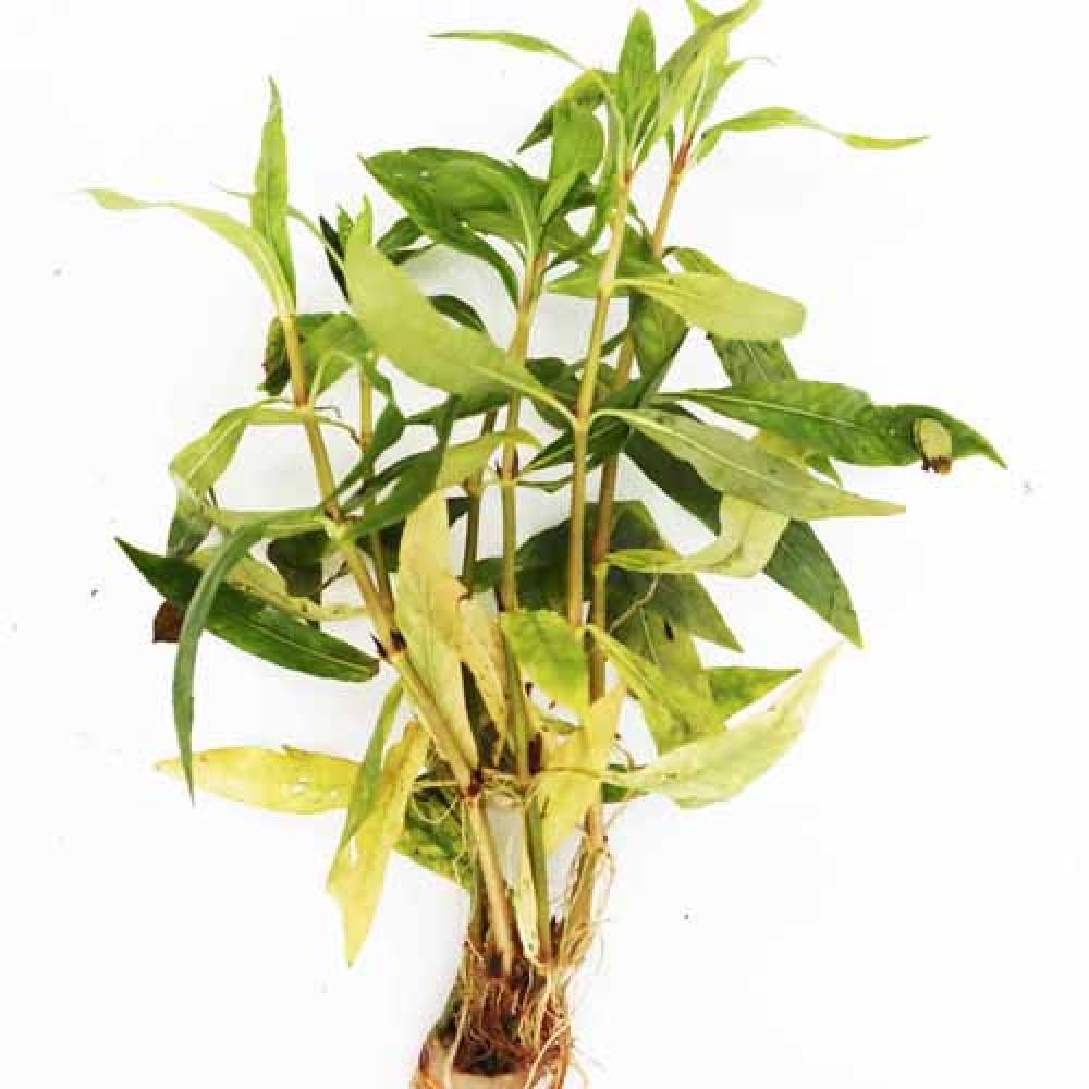 Hygrophila salicifolia DEMET