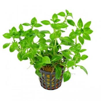 Ludwigia palustris green SAKSI