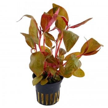 Alternanthera reineckii lila SAKSI