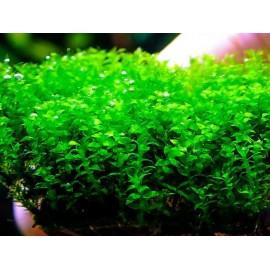 Distichophyllum maibarae moss PORSİYON