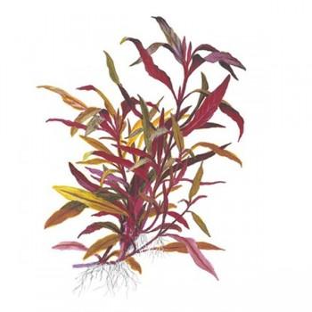 Alternanthera reineckii 'pink' (roseafolia) TEK DAL