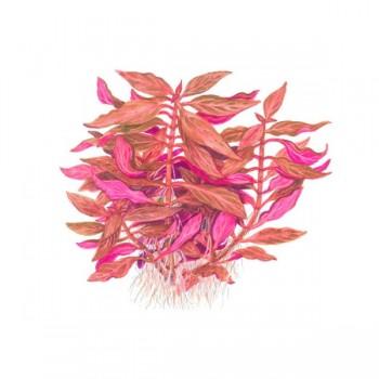 Alternanthera rosanervig TEK DAL