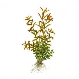 Rotala rotundifolia red TEK DAL