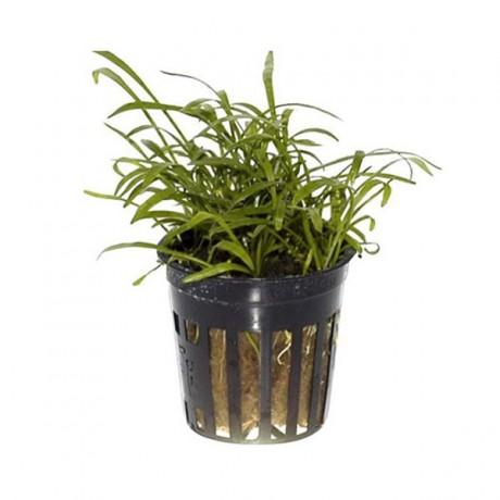 Lilaeopsis brasiliensis SAKSI