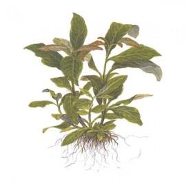 Hygrophila Corymbosa (Limon) TEK DAL