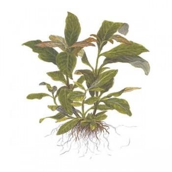 Hygrophila sp. cordata red SAKSI