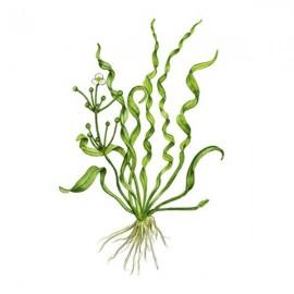 Echinodorus helanthium vesuvius TEK KÖK