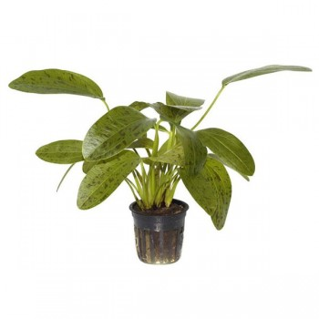 Echinodorus ozelot green SAKSI
