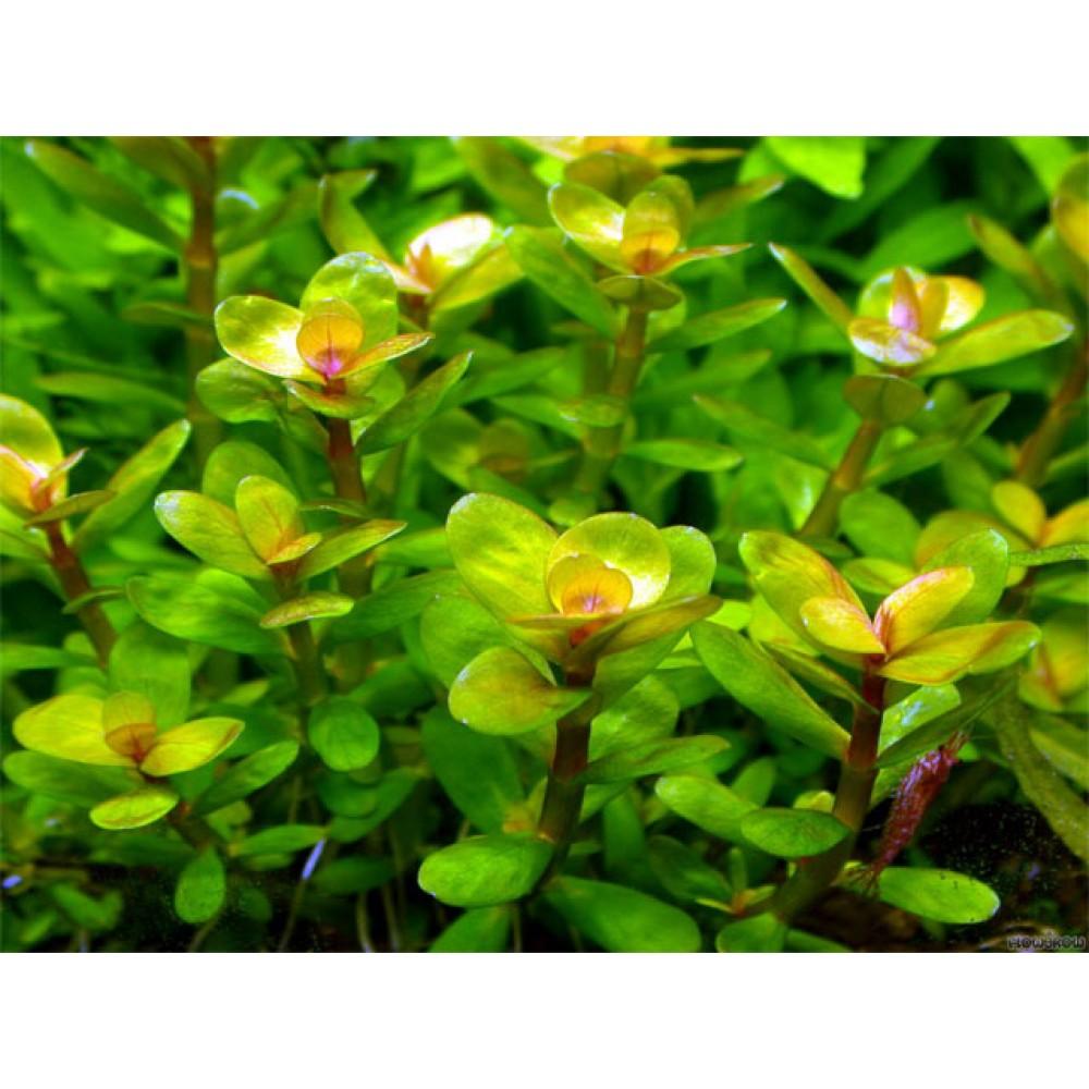 Rotala indica (Rotala rotundifolia) TEK DAL