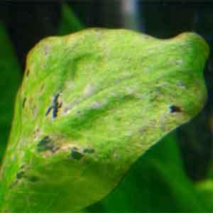 Akvaryum Bitkilerinde Beslenme Bozuklukları Bölüm 1