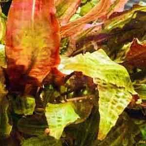 Akvaryum Bitkilerinde Beslenme Bozuklukları Bölüm 2