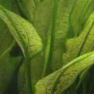 Akvaryum Bitkilerinde Beslenme Bozuklukları Bölüm 3